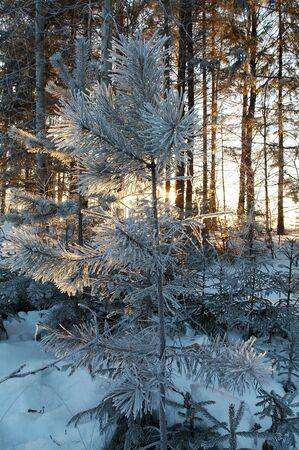 Trees in frost in winter, Russia Stock Photo