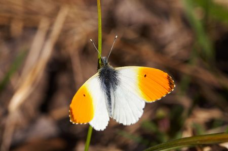 Butterfly Anthocharis cardamines op blade Stockfoto