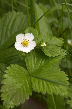 fragaria: European wood strawberry (Fragaria vesca) Stock Photo