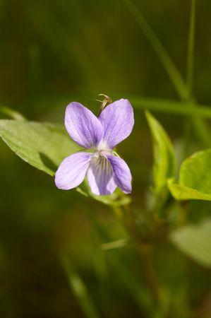 (Viola canina) dog violet in spring forest Stock Photo