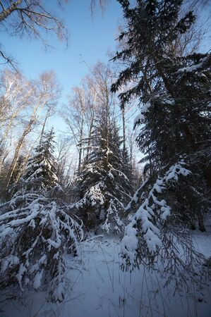 Russian winter in wild forest photo