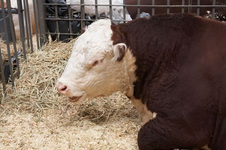 Brown-white bull on agricultural exhibition