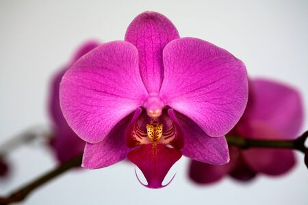 Beautiful orchid Phalaenopsis on gray close up Stock Photo