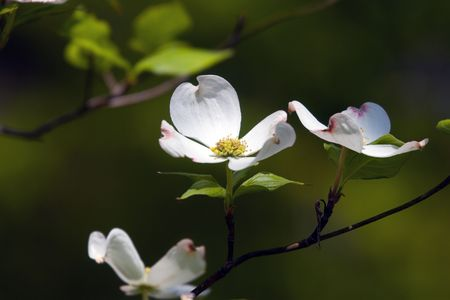 botanica: Branch of blooming dogwood blossoms in springtime