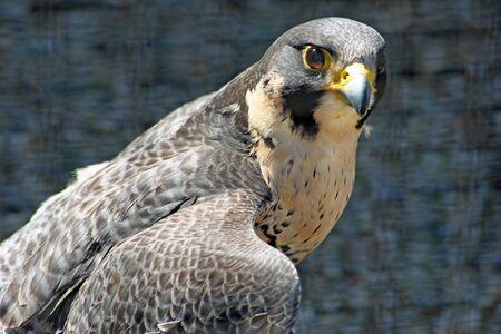 Close-up of a Peregrin Falcon in profile photo