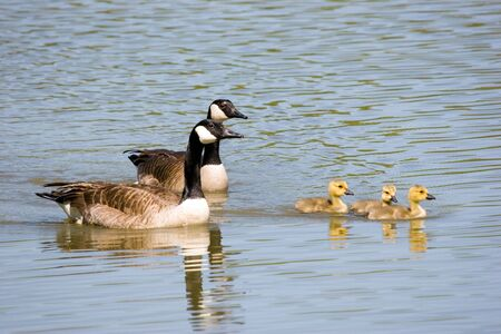honk: Canada goose, gander and three goslings swimming together Stock Photo