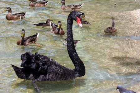Single Black Swan (Cygnus atratus) swimming amongst several ducks