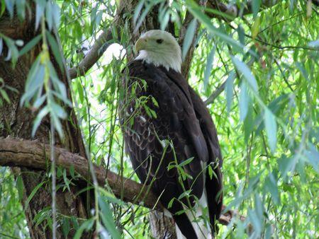 predetor: Aquila calva perched nel profilo