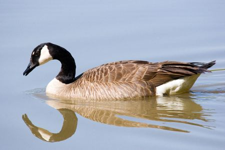 Canada goose appearing to gaze at its own reflection on smooth water