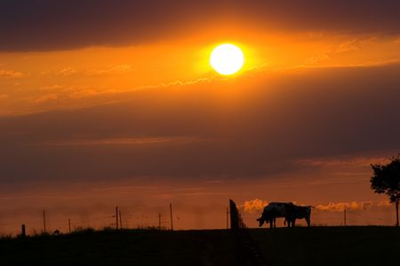 Cows grazing in the sunset