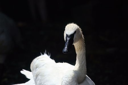 Head-on view of a black-faced swan Banco de Imagens