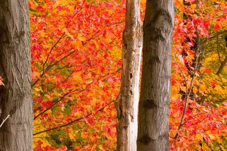 maple trees: Maple trees in full fall colors Stock Photo