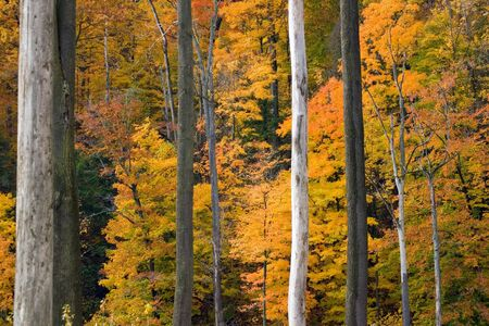 quietude: Golden foliage framed by gray and white vertical tree trunks