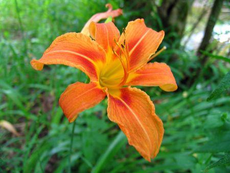 oranje lelie: Wild Orange Lily 1