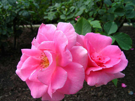 Pair of perfect pink roses photo
