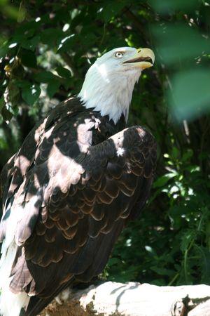 predetor: Bald Eagle in forte rialzo alla ricerca pone Archivio Fotografico