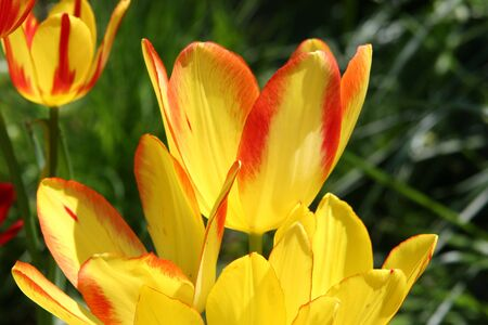 Bright yellow and red tulips Imagens