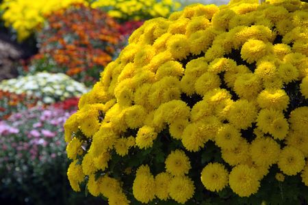 botanica: Sunburst of Mums