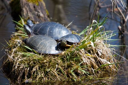 A turtle family sunning together photo
