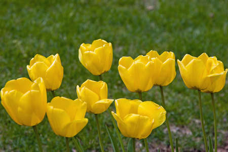 Cluster of yellow tulips in a lawn Imagens