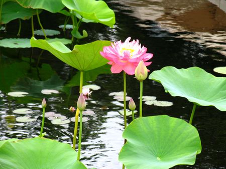 unfold: Lone waterlily bloom surrounded by buds