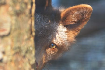 Juvenile red fox (Vulpes vulpes) peeking around a tree Stock Photo
