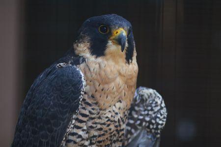 predetor: Close-up of a Peregrine Falcon in oblique