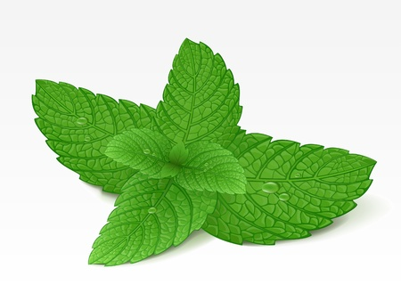 mint leaves: Mint leaf Illustration