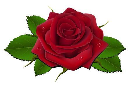 thorns: Red rose Illustration