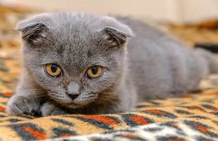 Little scottish kitten meowing. Gray kitten Scottish fold