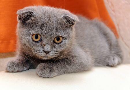 meowing: Little scottish kitten meowing. Gray kitten Scottish fold