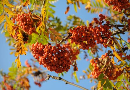 Bunches of rowan in the autumn. Red Rowan in the autumn tree