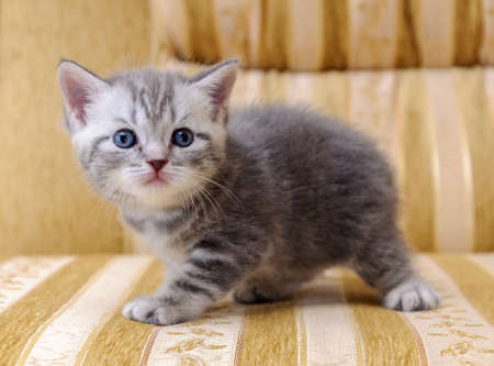 A small white and gray Scottish rock kitten on the couch Stock Photo