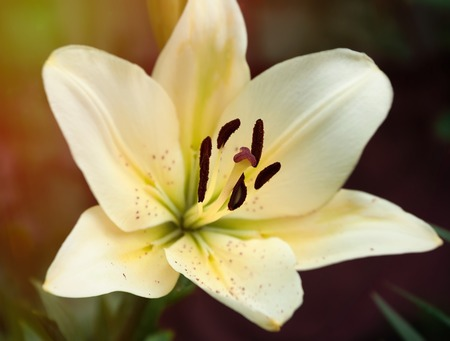 Beautiful delicate Lily flower yellow in the sun
