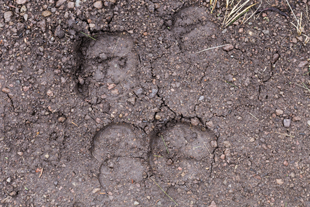 Bison tracks on a walking path in Yellowstone National Park.