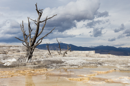 Dead tree seen at Mammoth Hot Springs