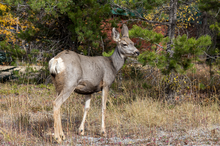 mule deer: A Mule Deer doe at Panorama BC. Stock Photo
