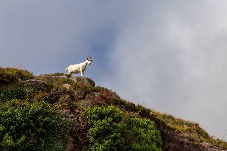 Goat on top of hill in Dunloe Gap