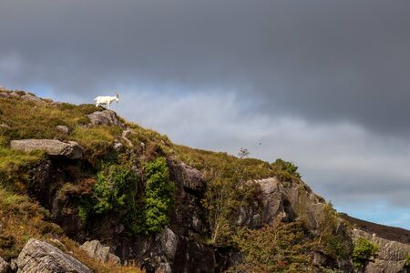 Mountain goat on the top of a hill