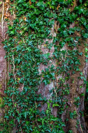 Detail of a vine covering a tree trunk.