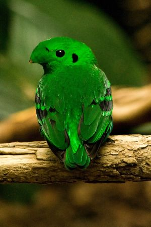 Lesser Green Broadbill (calyptomena viridis) Stock Photo