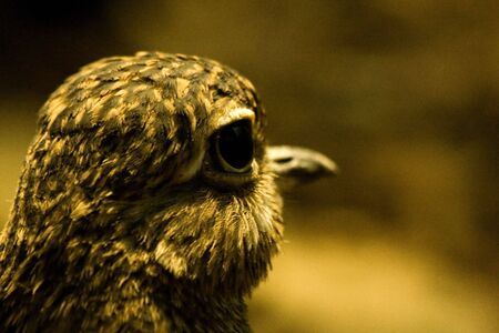 spotted: Spotted Dikkop (burhinus capensis)