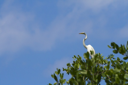 poised: A white heron poised high in a mangrove tree set against a baby blue sky Stock Photo