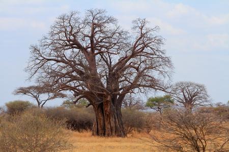 African Baobab   Adansonia digitata  tree in the tanzanian savannah