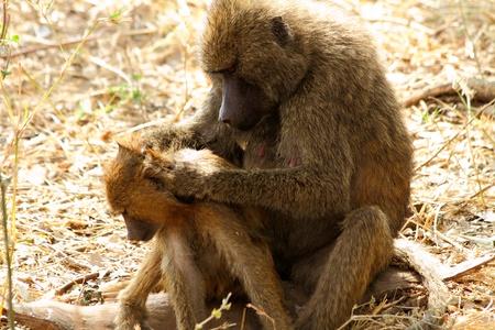the offspring: Un babuino Papio anubis madre atentamente buscando su descendencia para detectar cualquier signo de par�sitos Foto de archivo