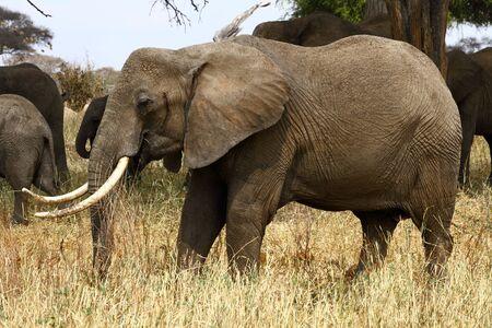 African Bush Elephant  Loxodonta africana  matriarch grazing