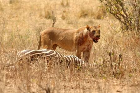 A bloody lioness  Panthera leo  stands panting over her fresh kill of a zebra Stock Photo - 16916452