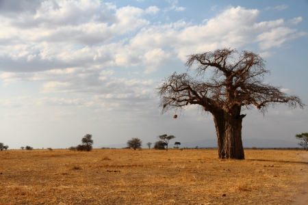 A lone baobab tree stands against the African savannah Stock Photo