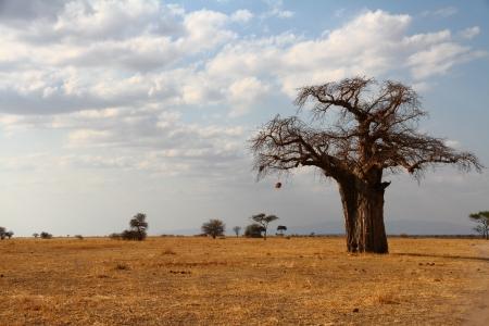 praterie: Un albero solitario baobab si erge contro la savana africana