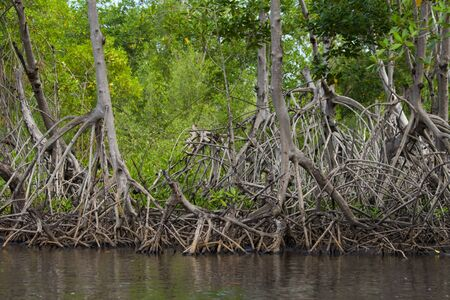 distinctive: A mangrove forest and its distinctive root system